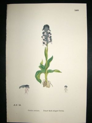 Antique Botanical Print 1899 Dwarf Dark-Winged Orchis Orchid, S