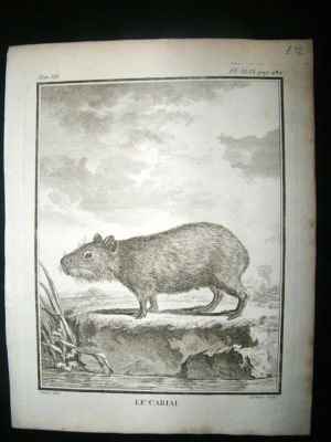 Antique Buffon: C1770 Capybara, Antique Print