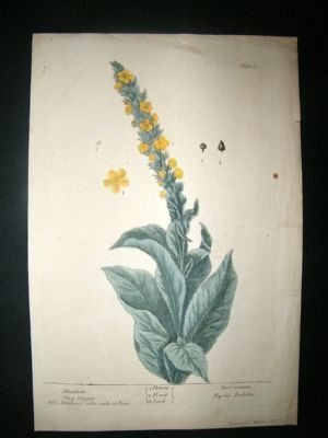 Antique Blackwell: 1739 Botanical. Mullein, Hand Col