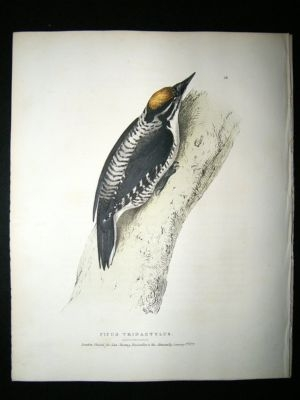 Antique Swainson 1831 Three-Toed Woodpecker, Canada, Hand Col B