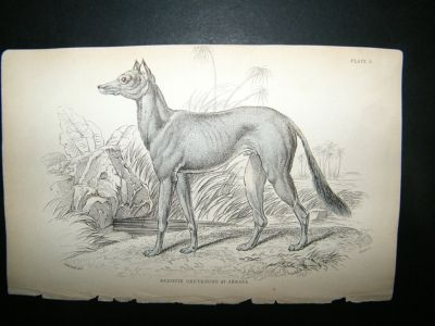 Antique Bedouin Greyhound Dog: C1840 Hand Col Print, Jardine