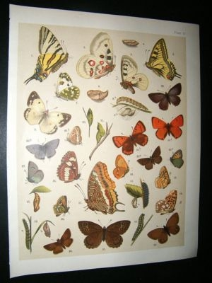 Antique Kirby 1907 Rhopalocera Butterflies 17. Antique Print