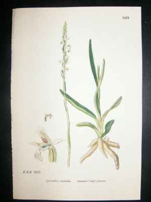 Antique Botanical Print 1899 Summer Lady's Tresses, Sowerby Han