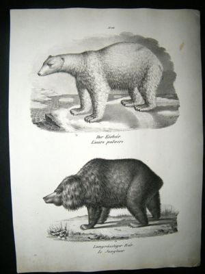 Antique Schinz: 1820's Antique Print, Polar & Brown Bears.