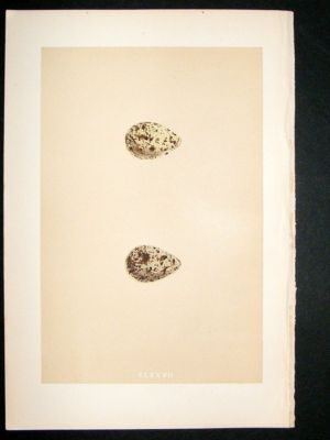Antique Bird Egg Print 1875 Temminck's Stint, Morris Hand Col