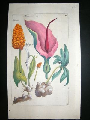 Antique Sweert C1630 Folio Hand Col Botanical. Dracunculus