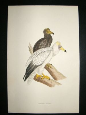 Antique Bird Print: 1891 Egyptian Vulture, Morris, hand coloured