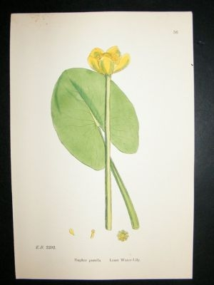 Antique Botanical Print 1899 Least Water-Lily, Sowerby Hand Col