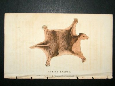 Antique Flying Calugo: 1800 Hand Colored Print