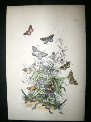 Antique Moth Print: 1860 Plate 40, Humphreys, Hand Col