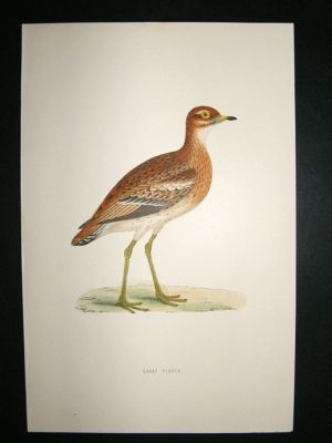 Antique Bird Print: 1891 Great Plover, Morris, hand coloured