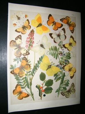 Antique Kirby 1907 Pieridae Butterflies 5. Antique Print