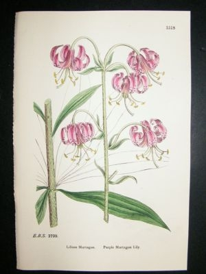Antique Botanical Print 1899 Purple Martagon Lily, Sowerby Hand