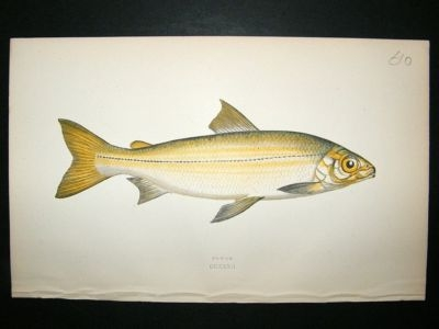 Antique Fish Print: 1869 Powan, Couch