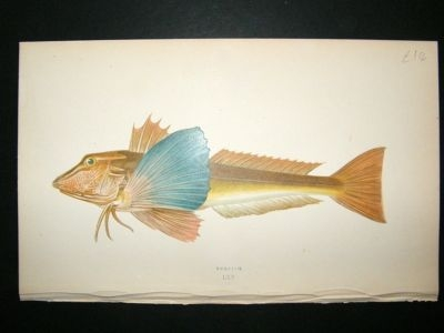 Antique Fish Print: 1869 Tubfish, Couch