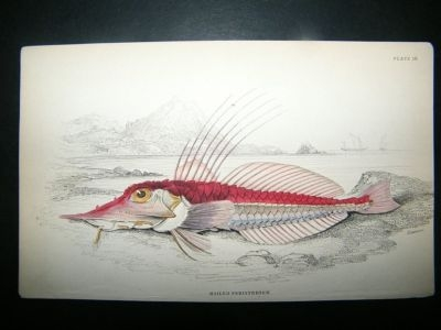 Antique Jardine C1840 Mailed Peristedion Fish, Hand Col