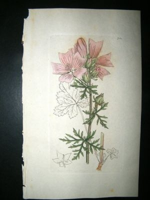 Antique Botanical Print: 1800 Musk Mallow #754, Sowerby Hand Co