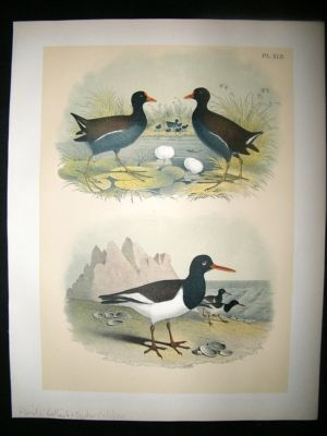 Antique Studer 1881 Folio Bird Print. Florida Gallinule, Oyster Cathcher