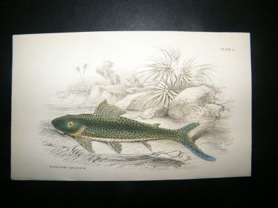 Antique Jardine: C1840 Hypostoma Squalinum Fish, Hand Col