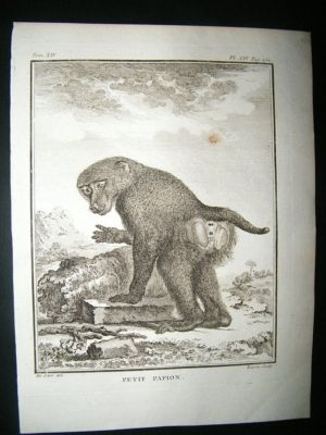 Buffon: C1770 Small Baboon, Antique Print
