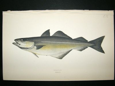 Antique Fish Print: 1869 Coalfish, Couch