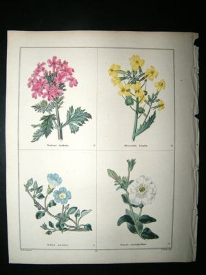 Antique Maund C1830 Rose-Flowered Vervain, Hispid Biscutella, Nolana, Petunia 52. Hand C