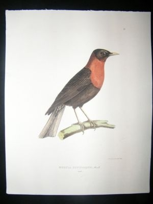 Antique Bird Print: 1850 Rufous Collared Robin