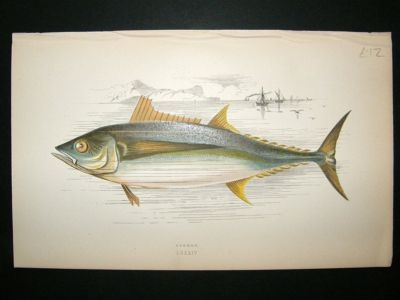 Antique Fish Print: 1869 Germon, Couch