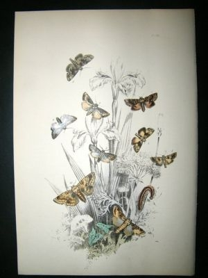 Antique Moth Print: 1860 Plate 19, Humphreys, Hand Col