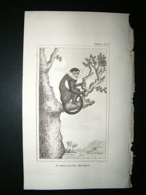 Antique Monkey Print: 1812 Purple Face, Buffon