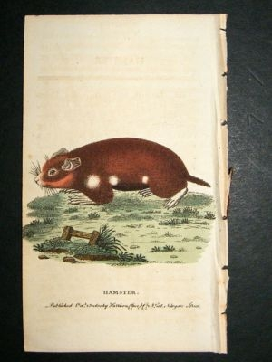 Antique Hamster: 1800 Hand Colored Print
