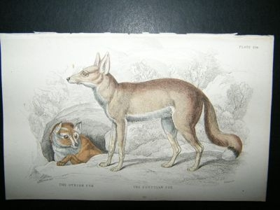 Antique Jardine: 1854 Syrian Egyptian Fox, Hand Col Print