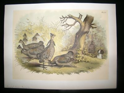 Antique Studer 1881 Folio Bird Print. Pinnated Grouse, Prarie Hen