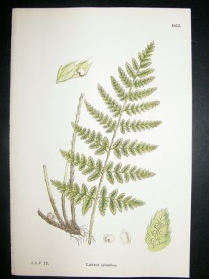 Antique Botanical Print 1899 Lastrea Spinulosa Fern, Sowerby Ha