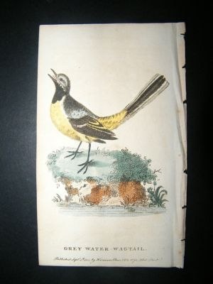 Antique Bird Print: 1800 Grey Water Wagtail