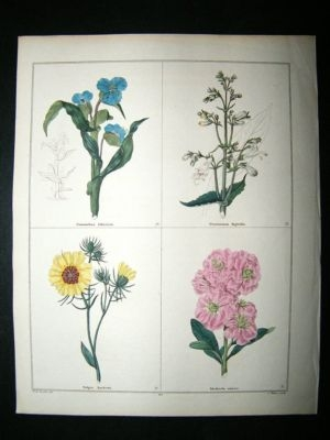 Antique Maund C1830 Commelina, Pentstemon, Hawkweed, Ten-Week Stock 65. Hand Col Botanic