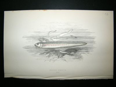 Antique Fish Print: 1869 Bearded Ophidium, Couch