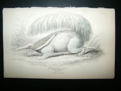 Antique Jardine: C1840 Great Ant Eater, Hand Col Print