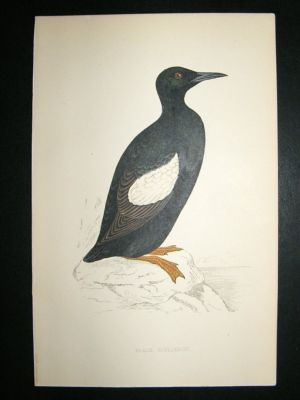 Antique Bird Print: 1867 Black Guillemot, Morris, hand coloured