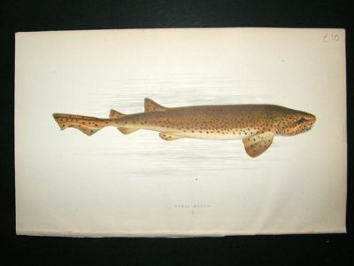 Antique Fish Print: 1869 Nurse Hound, Couch
