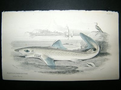 Antique Piked Dog Fish: C1840 Hand Col Print, Jardine