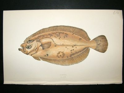 Antique Fish Print: 1869 Carter, Couch