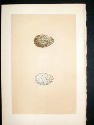Antique Bird Egg Print 1875 Rook, Morris Hand Col