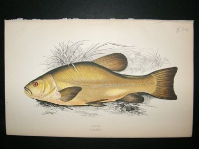Antique Fish Print: 1869 Tench, Couch