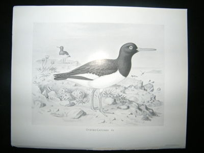 Antique Bird Print: 1898 Oyster Catcher, Frohawk