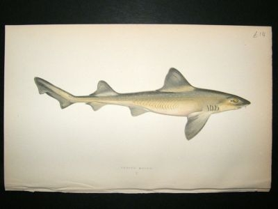 Antique Fish Print: 1869 Smooth Hound, Couch