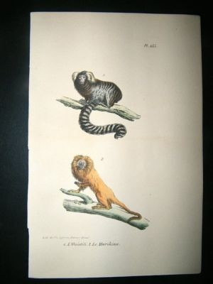 Antique Buffon: 1830 Hand Coloured Print. Golden Lion Tamarin.