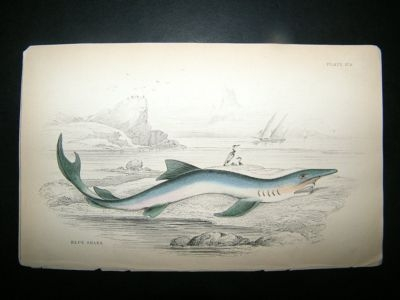 Antique Jardine: C1840 Blue Shark, Hand Col Print