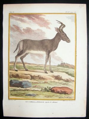 Antique Buffon: C1770 Hartebeest Antelope, Hand Colored