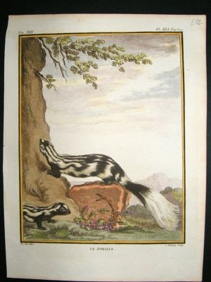 Antique Buffon: C1770 Skunk, Hand Colored Antique Print